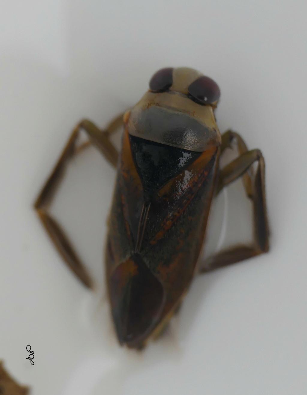 [Notonecta sp.] Notonectes.  Notone12