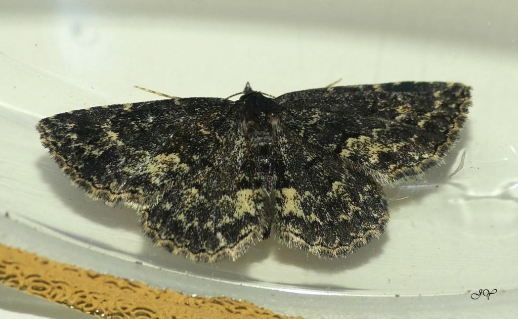 Papillon noir. Nouvea11