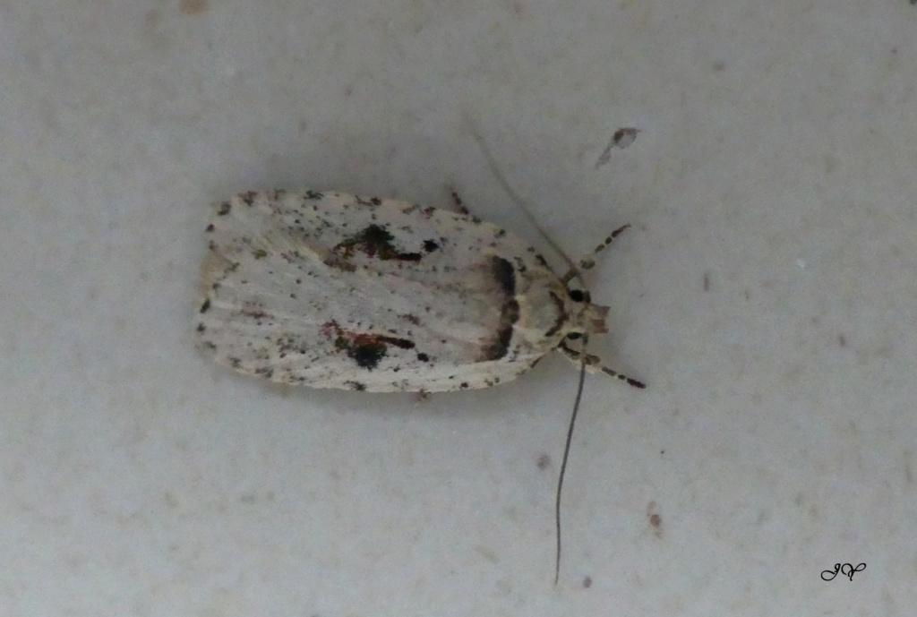 Papillon blanc. Pap_du10