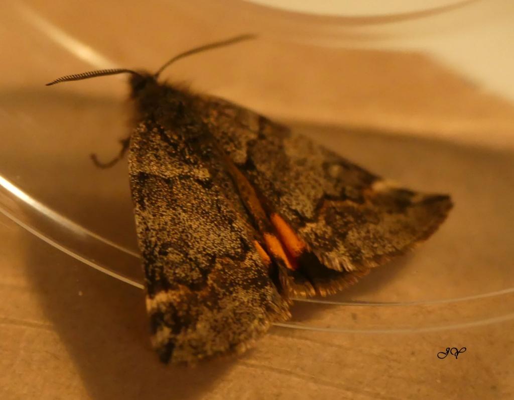 Petit papillon de Mars : Boudinotiana notha Petit_11