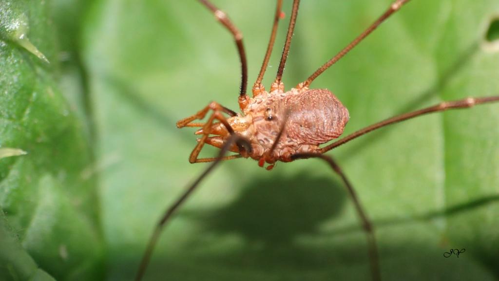 P. opilio. Phalan10