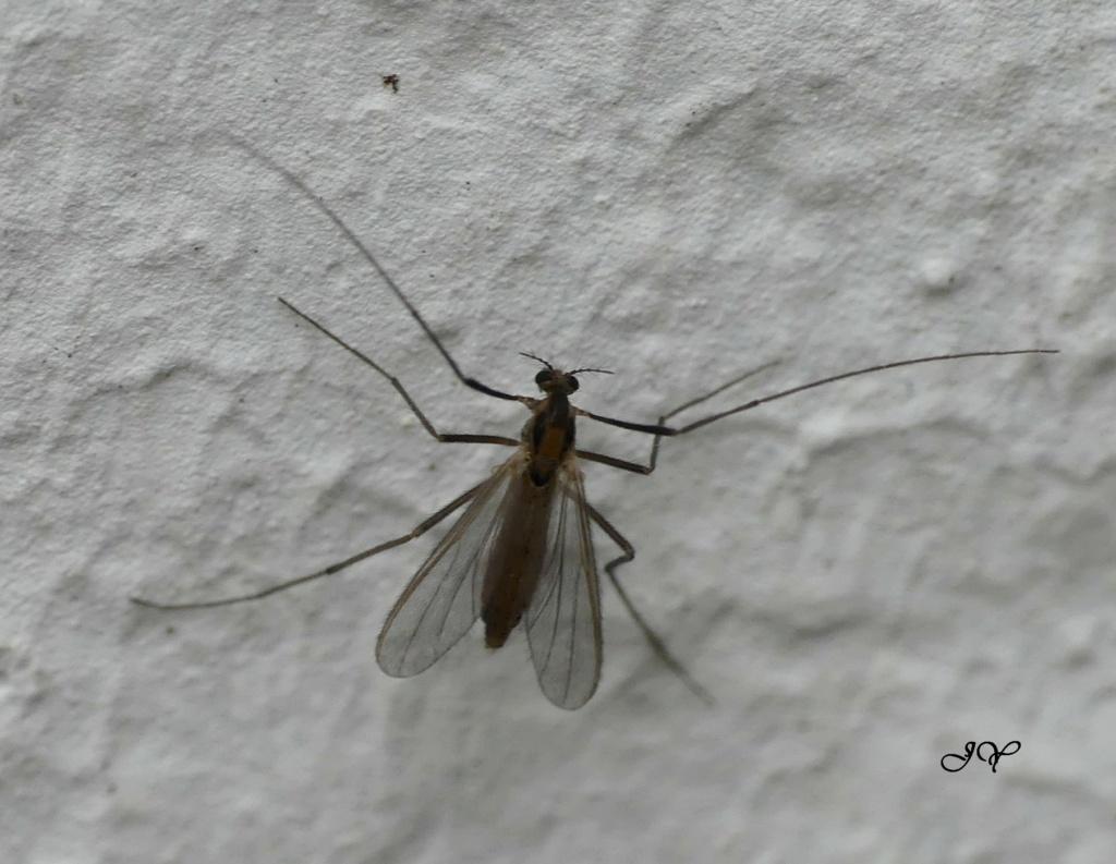Moustiques. Sur_le19