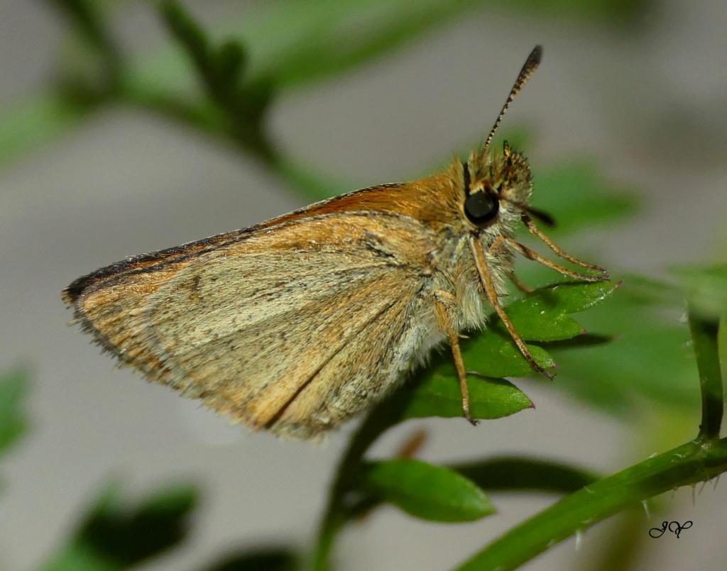 Hesperiidae. Sylvai10