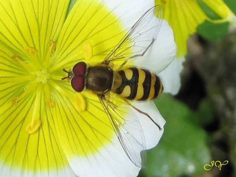 Syrphus vitripennis- Syrphu10