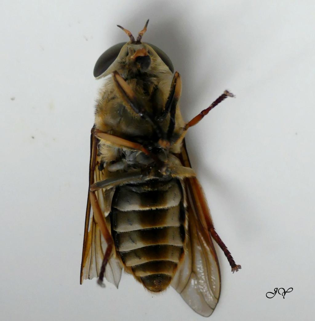 Tabanidae. Tabanu10