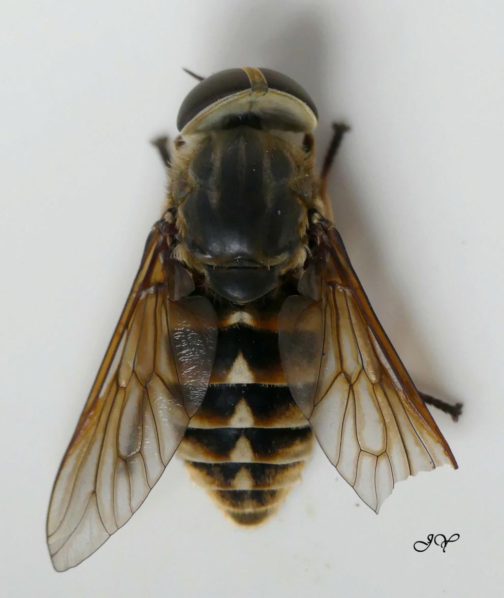 Tabanidae. Taon_z10