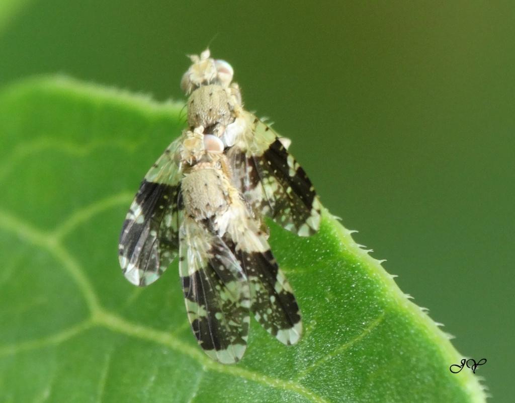 Tephritidae. Tephri10