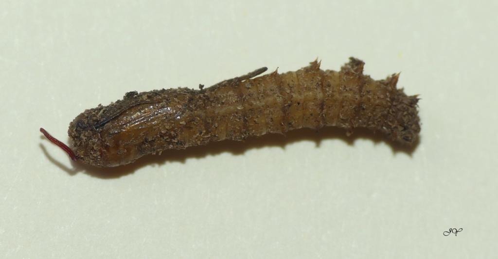 Pupe et adulte Tipule. Tipula15