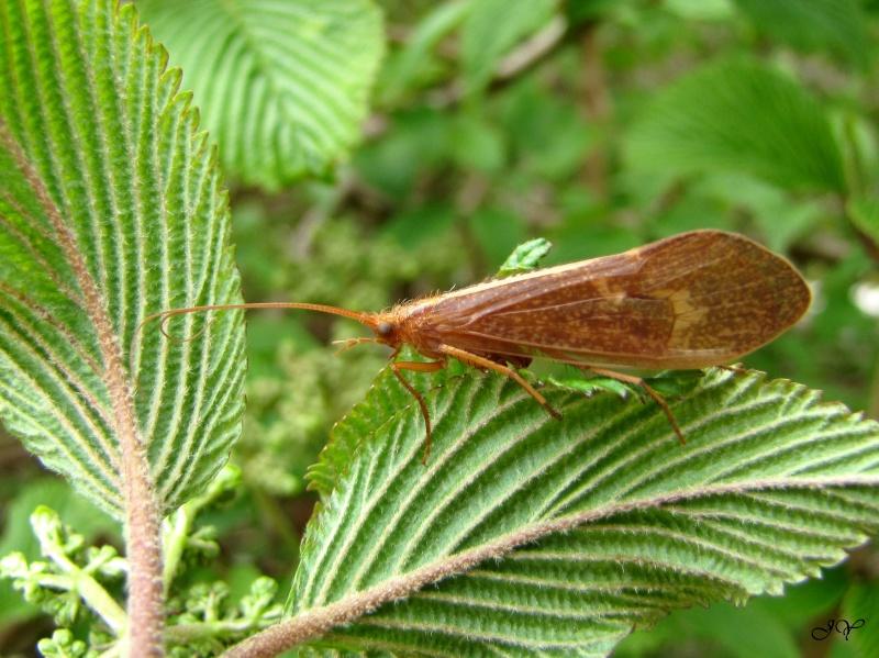 Trichoptere -  Tricho10