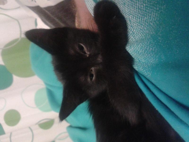 ADOPTE, Ikea chaton 2 mois noir 20130913