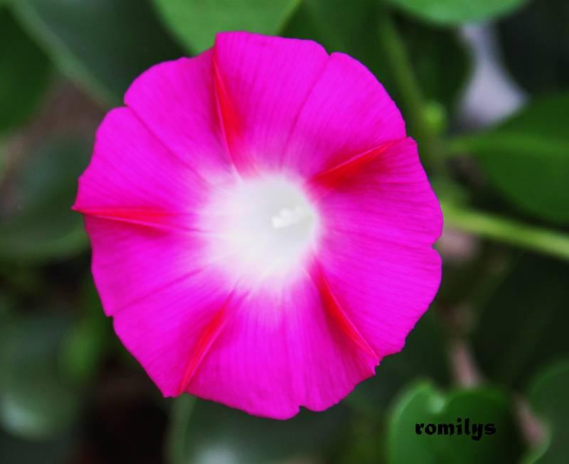 Ipomoea - rankende Schönheiten - Seite 6 Ipomoe10