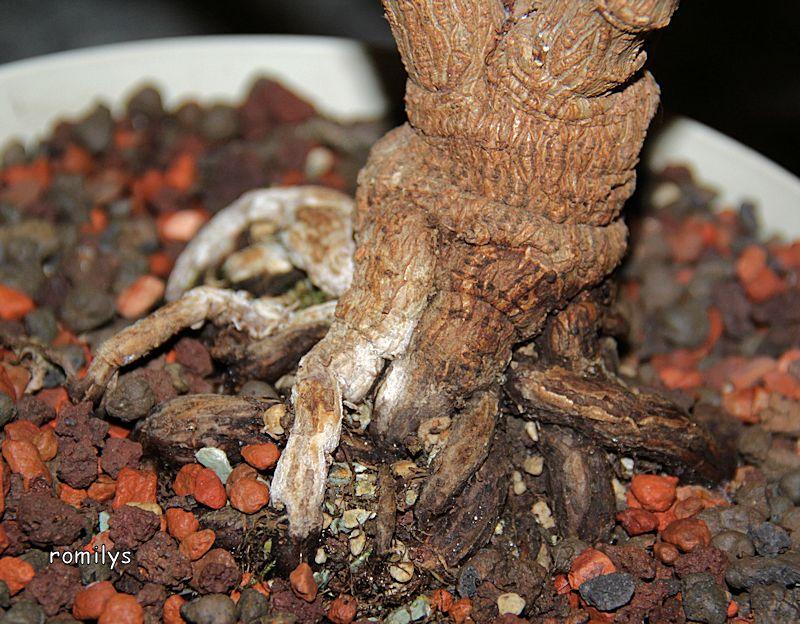 Wolfsmilchgewächse (Euphorbiaceae) - alle Nichtsukkulenten - Seite 2 Stamm210