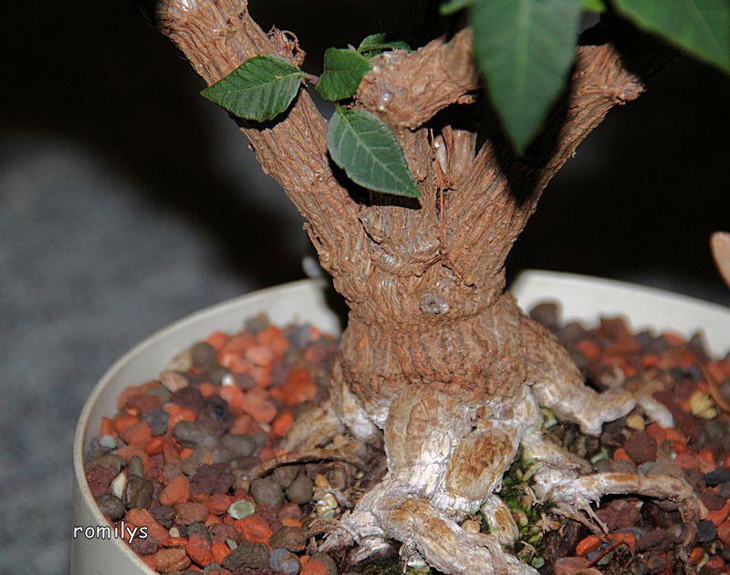 Wolfsmilchgewächse (Euphorbiaceae) - alle Nichtsukkulenten - Seite 2 Stamm310