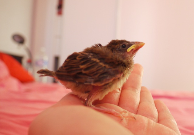 Bébé Oiseaux, besoin d'aide ! P1290510