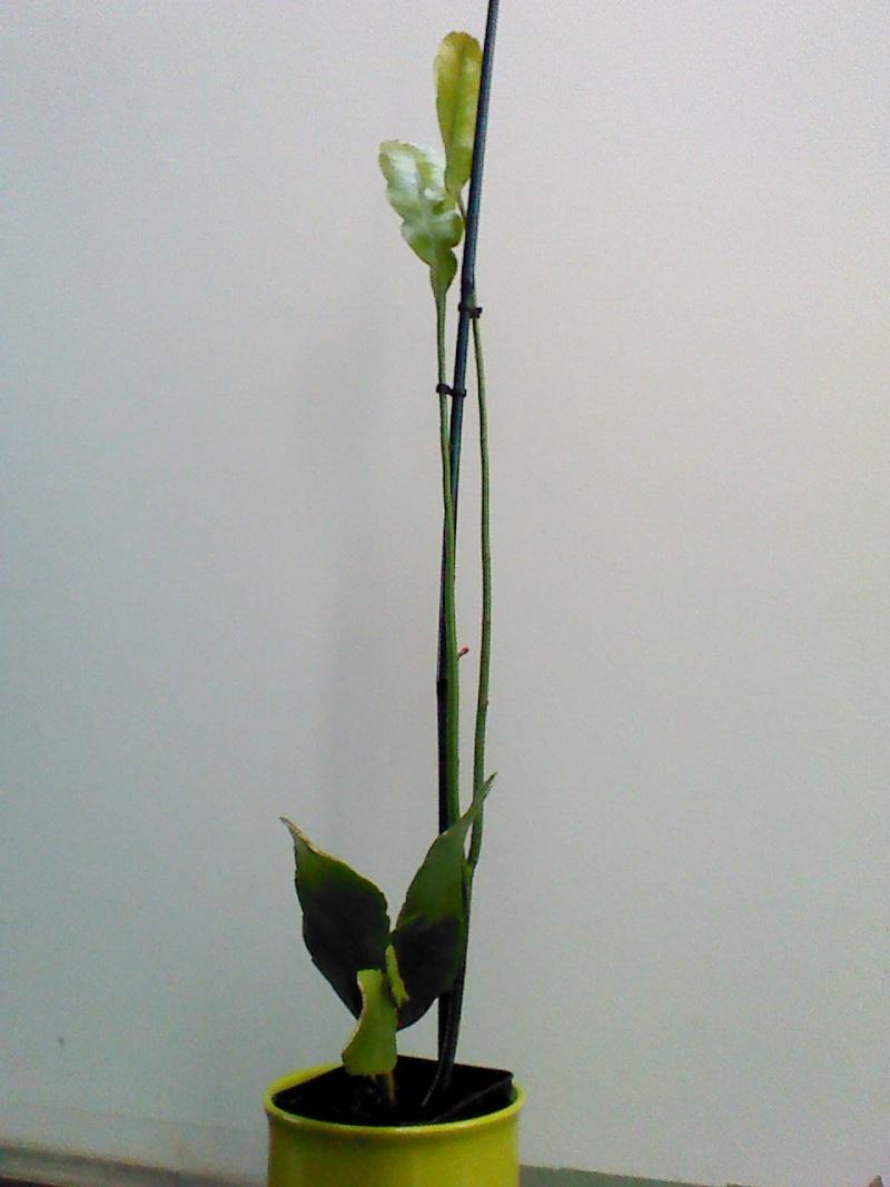 Epiphyllum oxypetalum - Page 2 Img_2021