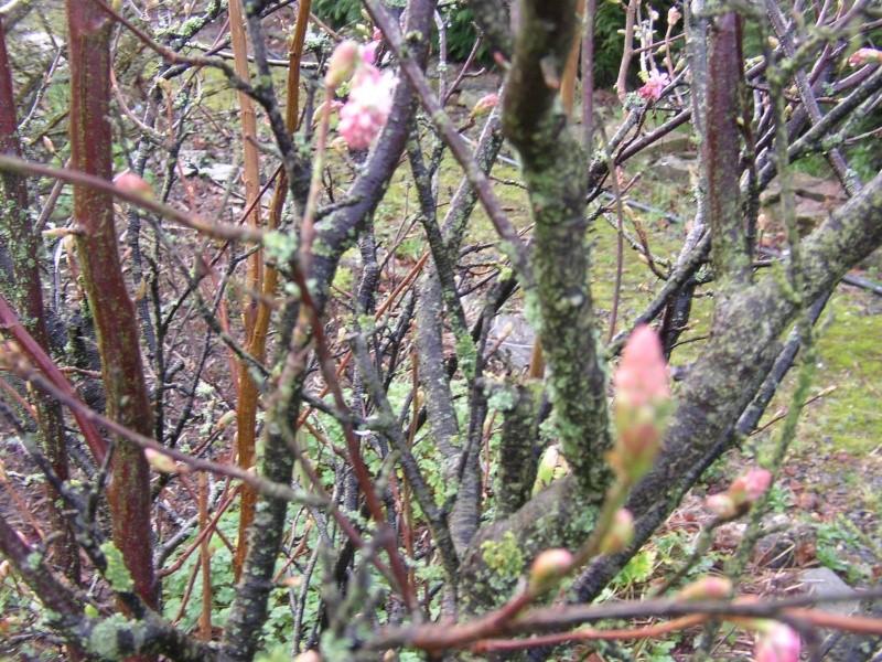 Groseiller a fleurs (Ribes sanguineum) - Page 3 Favrie30