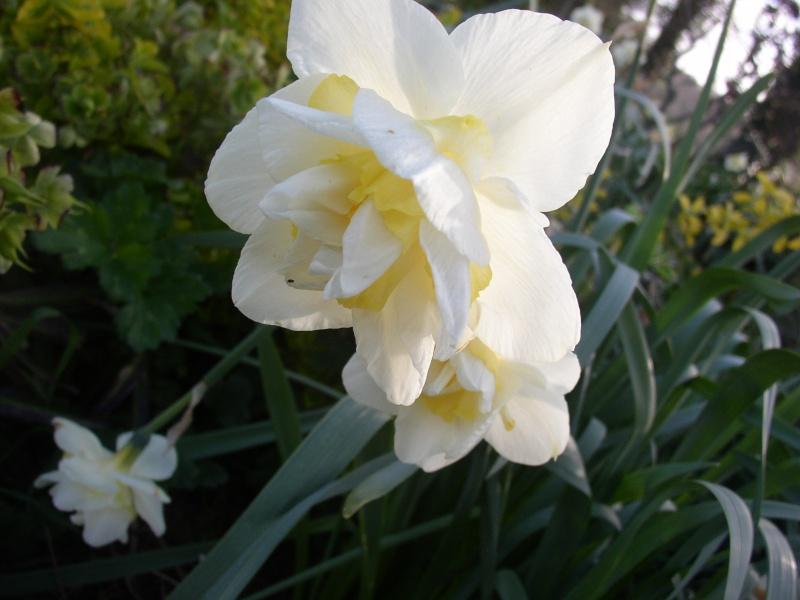 Jonquille, Narcisse - Page 4 Fleurs10