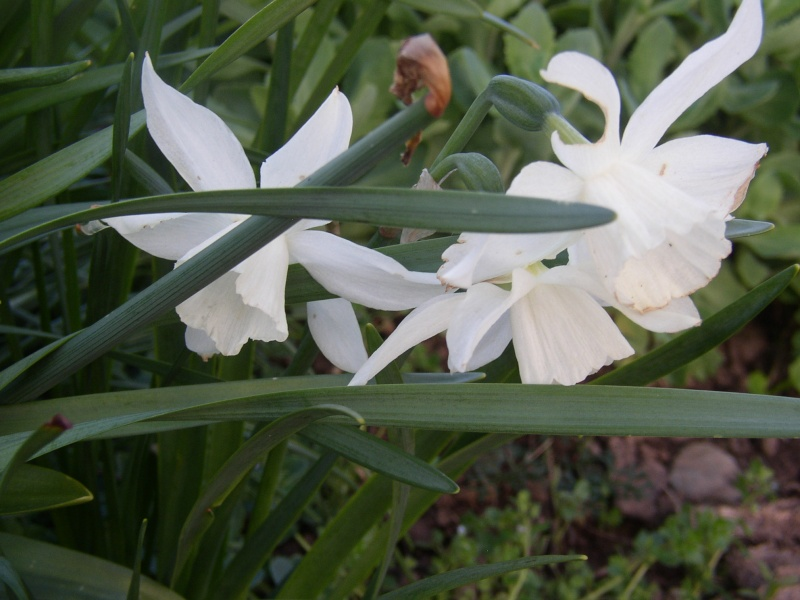 Jonquille, Narcisse - Page 4 Fleurs11