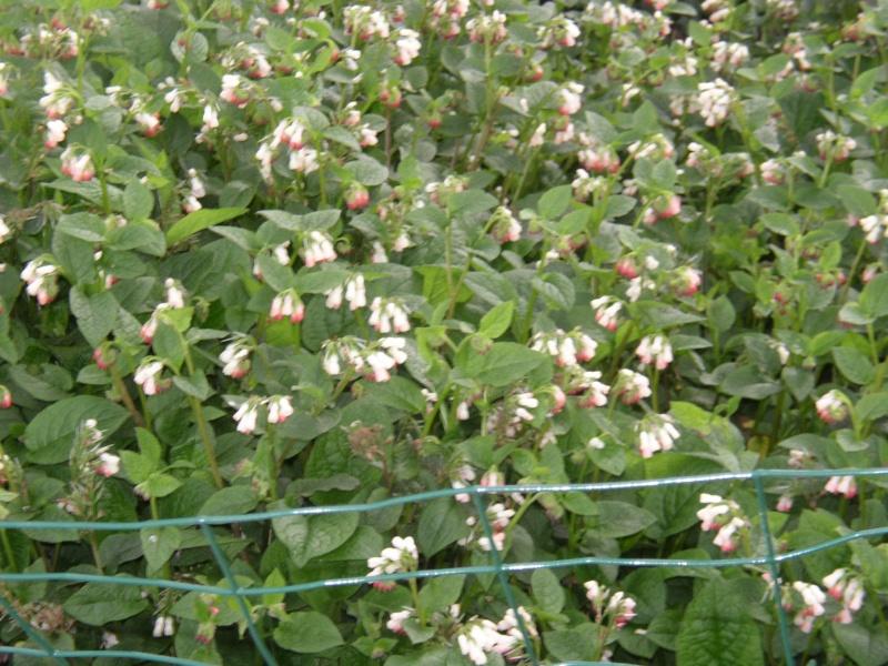 Symphytum grandiflorum Hidcote Pink (consoude) Fleurs18