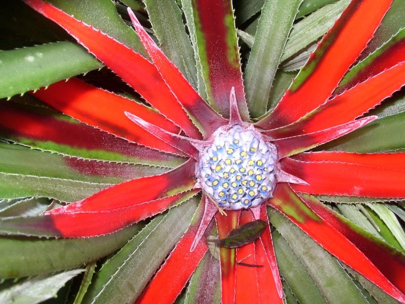 Fascicularia bicolor Perros11