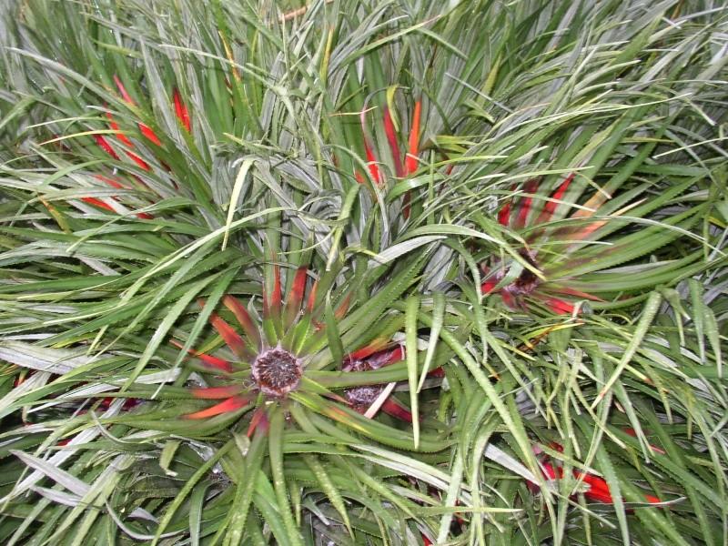 Fascicularia bicolor Perros12