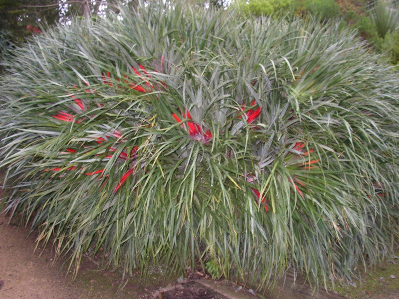 Fascicularia bicolor Perros13