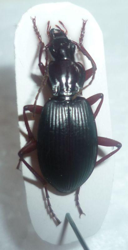 Pterostichus Cristatus ? Detail10