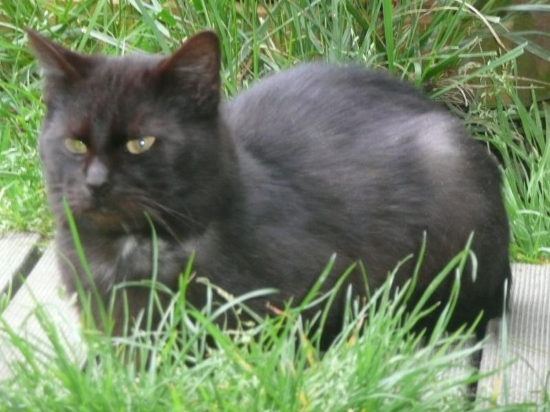 Minuit chat noir Mai 2012 FIV+ (ADPK 35) P1110010