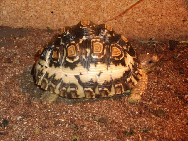 probleme carapace de ma tortue pardalis Dscf1815