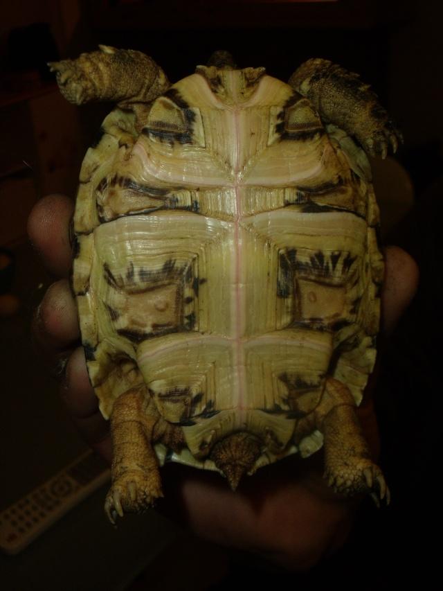 probleme carapace de ma tortue pardalis Dscf1816