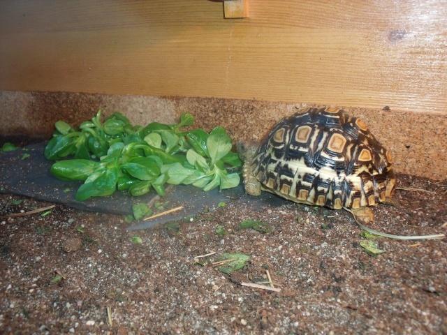 probleme carapace de ma tortue pardalis Dscf1818