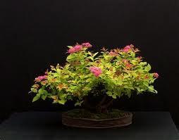 spinea bumalda  bonsaizzabile Spinea10