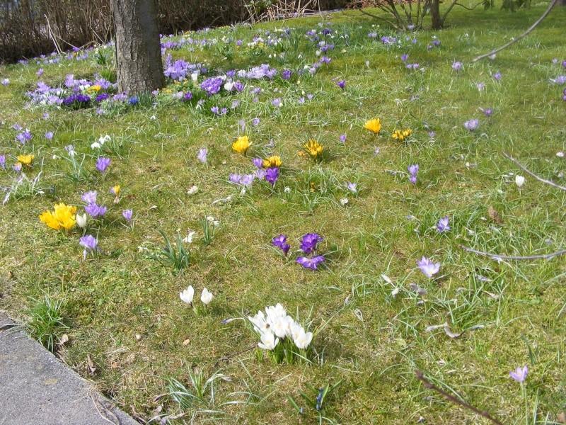 Erste Frühlingsboten im Garten und in Wald und Flur - Seite 5 2013_012