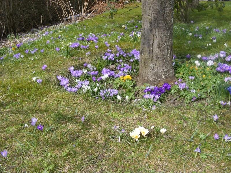 Erste Frühlingsboten im Garten und in Wald und Flur - Seite 5 2013_013