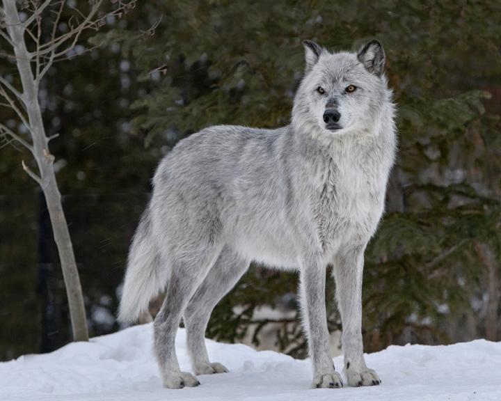 Howling Alpha_10