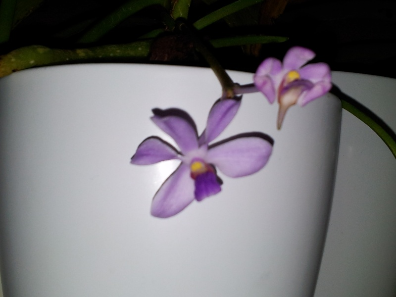 Vanda coerulescens 20130210