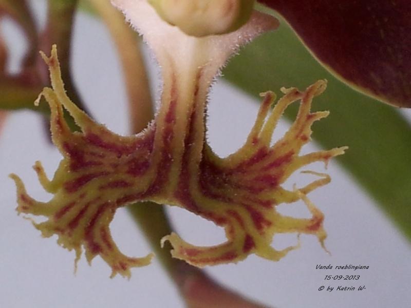 Vanda roeblingiana 20130911