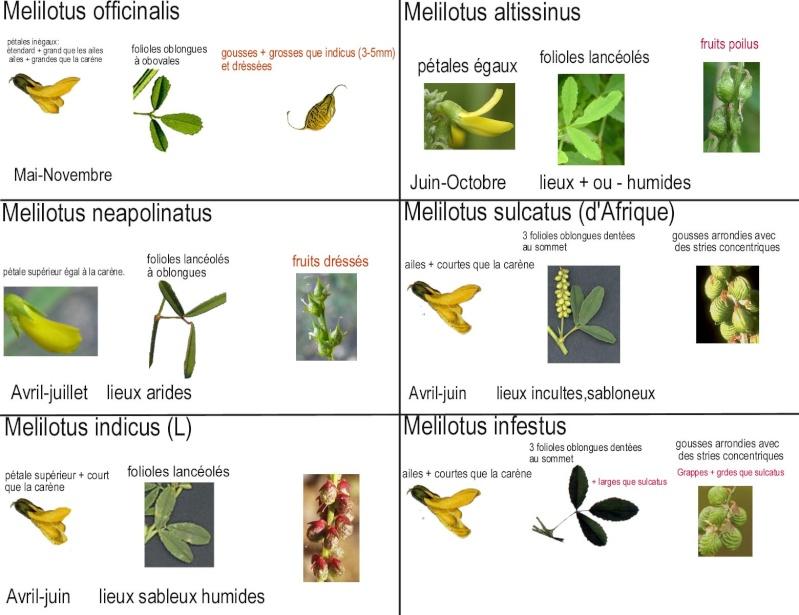 petite plante (melilotus officinalis ) Melilo11