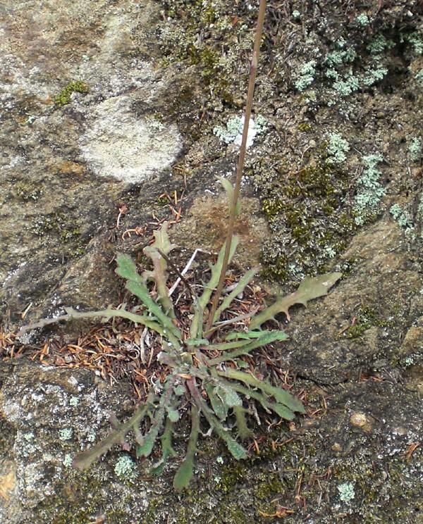 cousteline: Reichardia picroides Rei_pr10