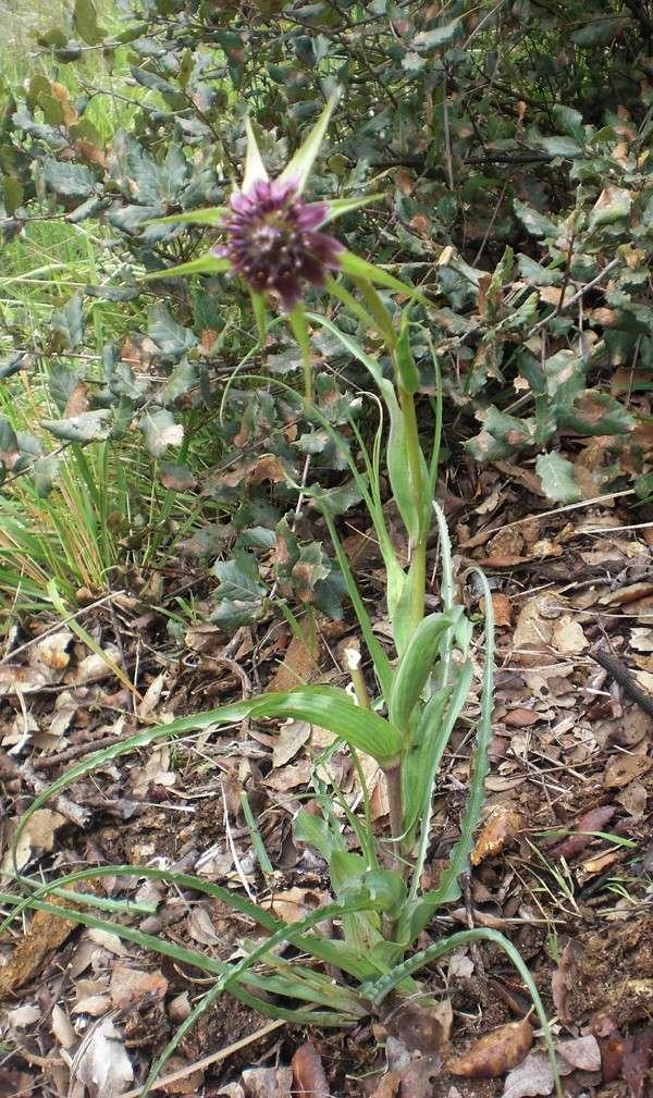 Salsifis à feuilles de poireau / Tragopogon porrifolius Trapog12