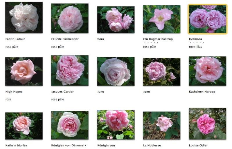 Rose pâle Screen24
