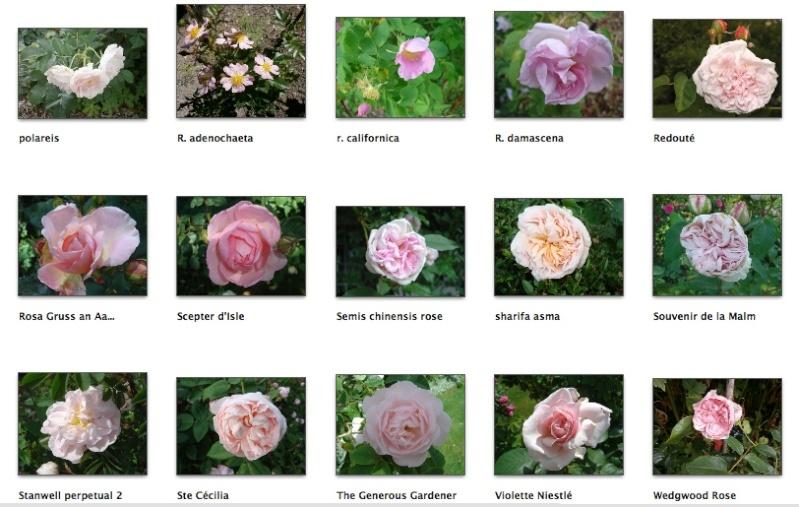 Rose pâle Screen26