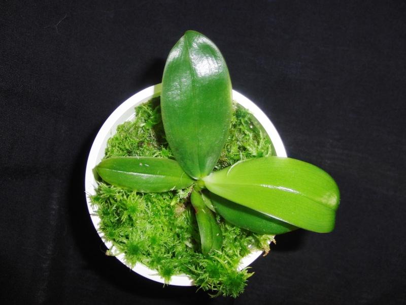 Phalaenopsis violacea 'Rachel's blue eyes' x 'Gulfstream blue', Selbstung Cimg4711