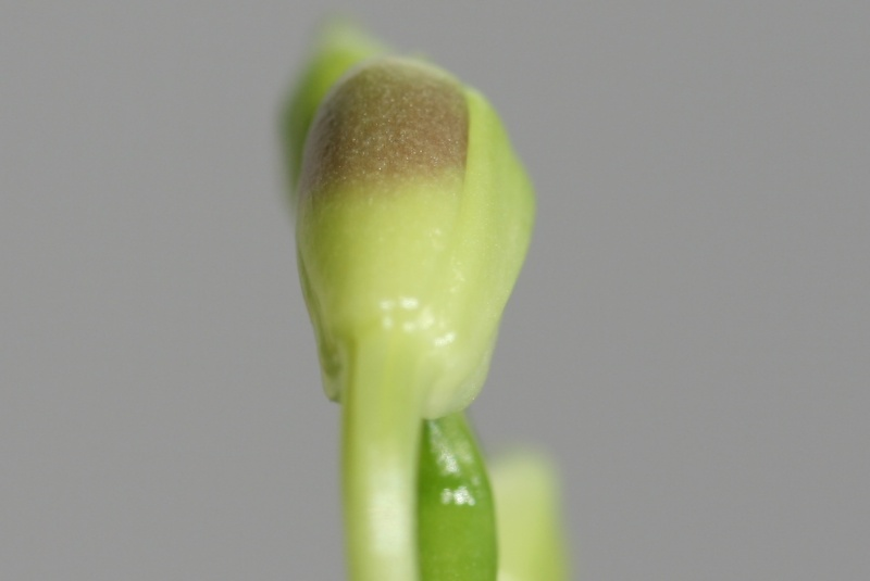 Phalaenopsis tetraspis + speciosa Img_1314