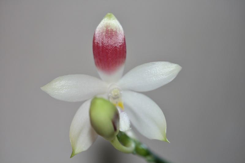 Phalaenopsis tetraspis + speciosa Img_1316