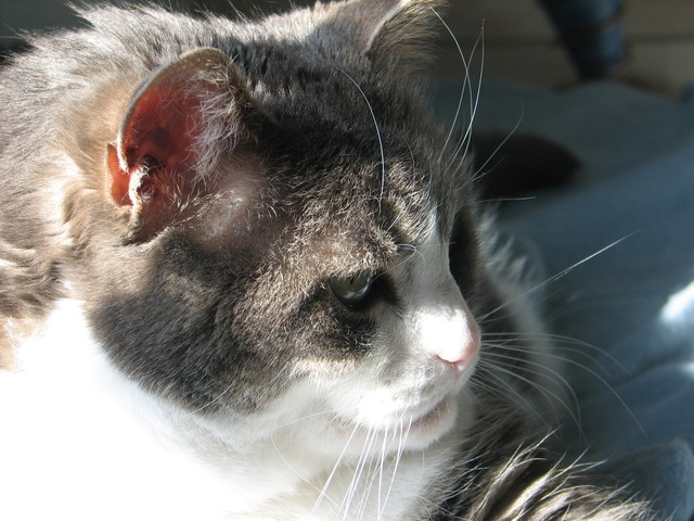 Câline, femelle tigrée grise et blanche, 15 ans Caline11