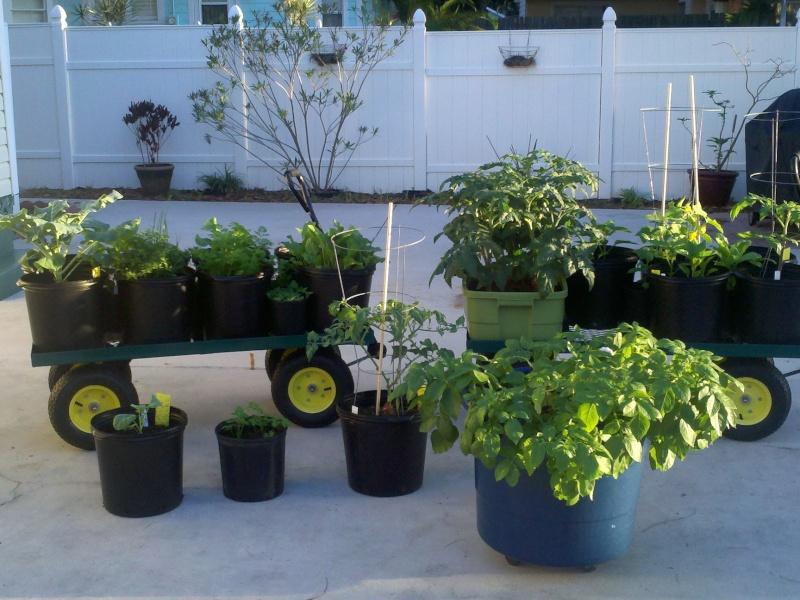 Better Bush Hybird Tomatoes! April_10