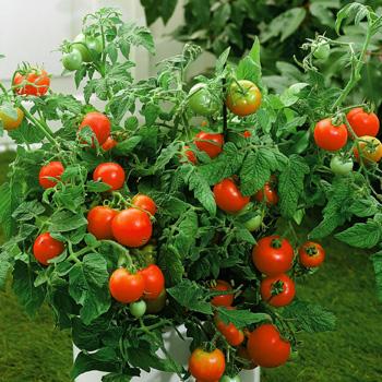 Better Bush Hybird Tomatoes! Bb_hos10