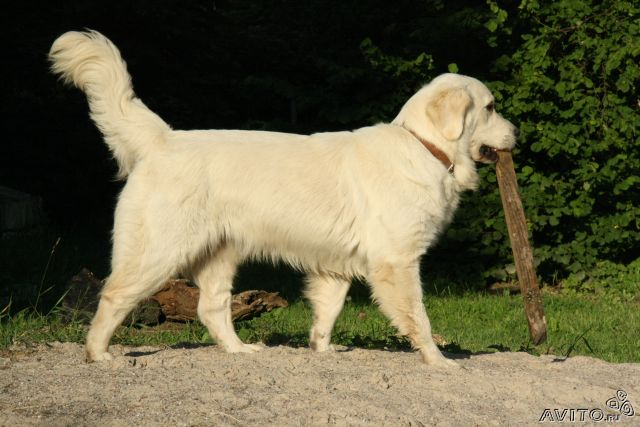 Золотистые(голден) ретриверы, щенки продаются 29595610