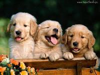 Советы желающим завести собаку. Id11
